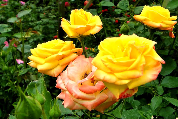 rose-yellow-cameron-highlands