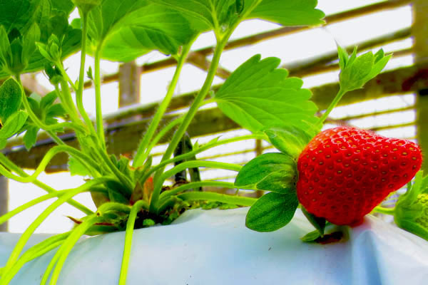 strawberry-farm-2-cameron-highlands