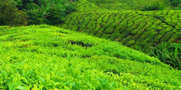 tea-plantation-cameron-highlands-2