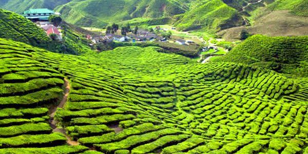 tea-plantation-cameron-highlands